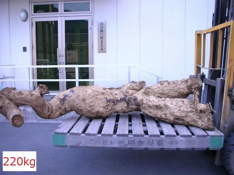 過去に掘りあげられた葛根。220Kgの大物です。