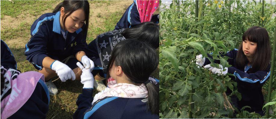 トマトの苗を紐で結ぶ作業