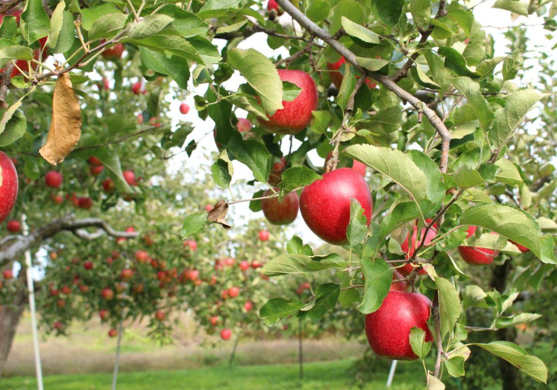 赤く美味しそうな越さんのりんご