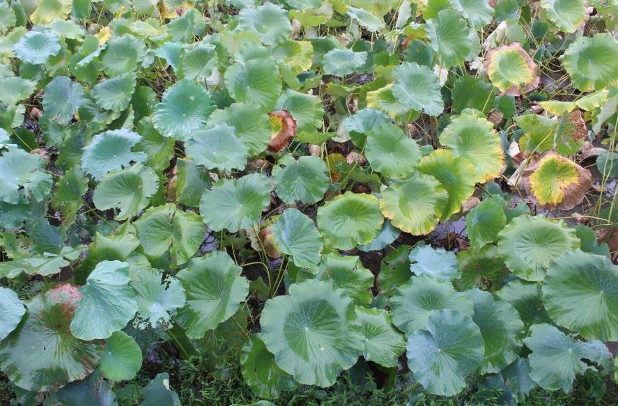 30年もの間、化学合成農薬を使わないことを徹底してきた益田さんのレンコン畑。