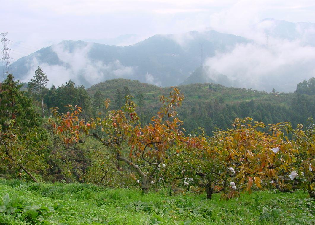 梅や柿の木で覆われた美しい五條・吉野地方の山々。