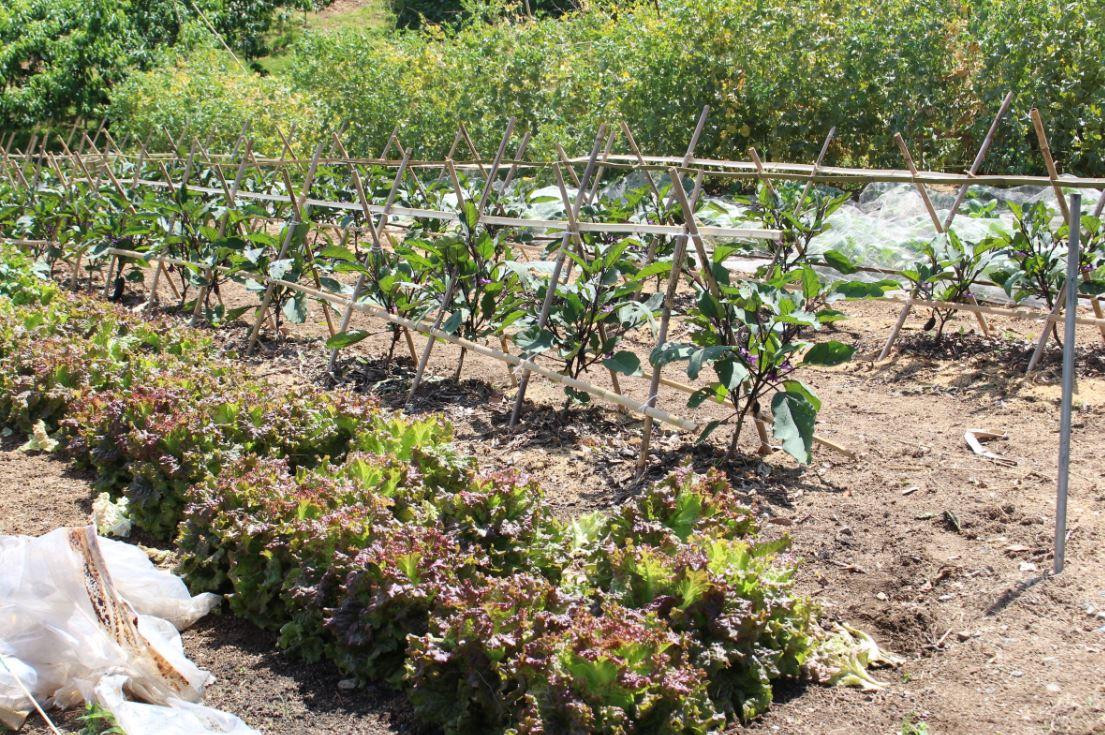 秋川牧園の近所に宮本さんの畑はあります。広い畑の一角にはリーフレタスやナスなどが植えられていました。