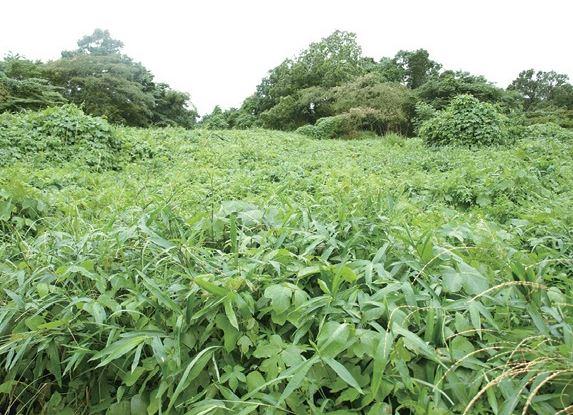 開墾前の畑。草木に覆われ地面も見えず…。