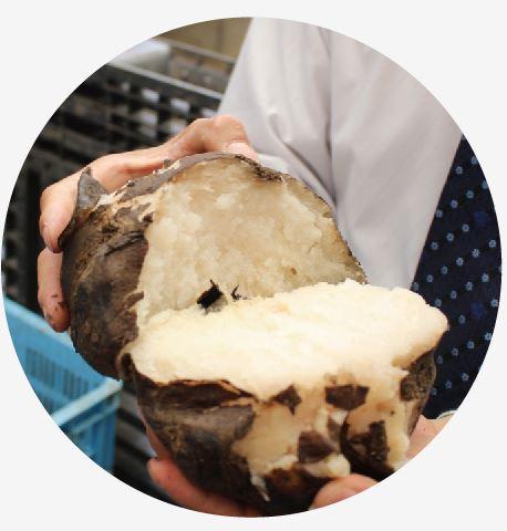 芋の断面は少し生成りのような色合い。新内農園のこんにゃくが少し生成りっぽく見えるのは、生芋から作っている証拠なんです。