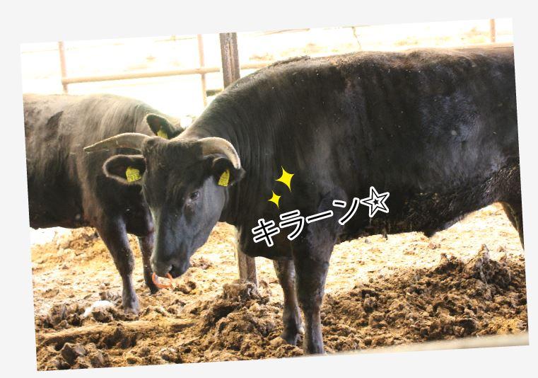 「こう見えて性格は神経質じゃけぇの」と佐伯さん。確かに牛たちはコチラを警戒しているような…でも徐々に慣れてきたのか、カメラを向けると寄ってきて、しまいにはカメラ目線でキメ顔です。