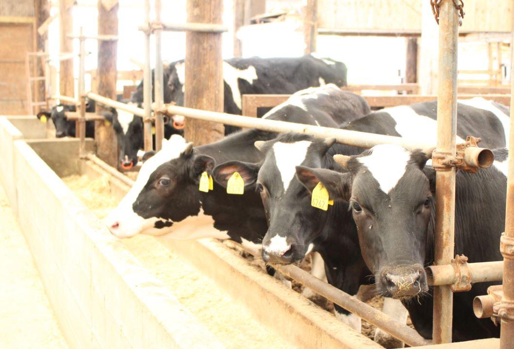 秋川牧園牛