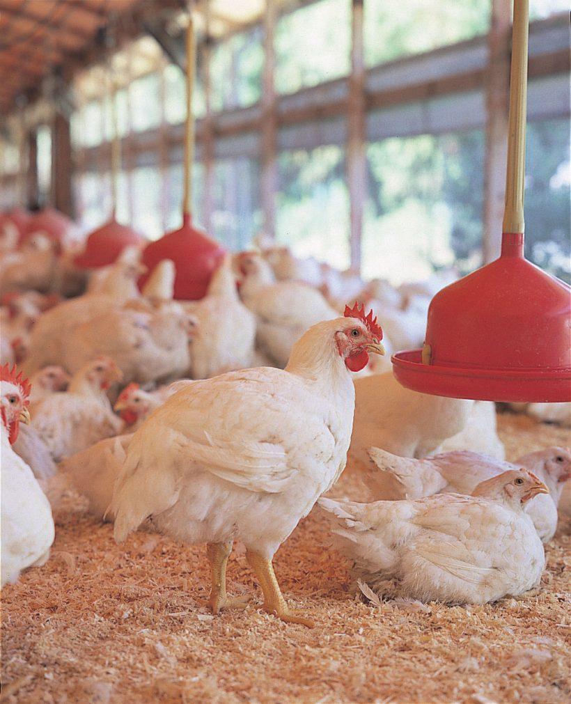 秋川牧園開放式雞舍